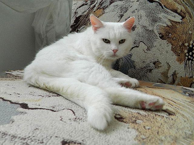 Британское сокровище, великолепная домашняя кошечка Сильвия в добрые руки